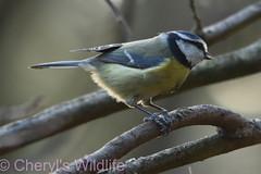 Blue Tit (Cheryl's Wildlife) Tags: wildlife nature suffolk rspb birds 2019 birdwatching nikon sigma photography east eastanglia naturereserve wildlifetrust riverlark weststow