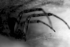 Waiting for it's time (LonánWL) Tags: blackandwhite blackwhite blackwhitephotos canoneos200d canonef50mmf18stm spider web nature animal insect outdoor outside wildlife araignée toile insecte exterieur dehors noiretblanc noirblanc macro