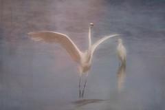 Dance me to your beauty  DSC_0826 (BlueberryAsh) Tags: egret wtp birds bird art arttexture dance grace westerntreatmentplant australianbird melbourne water etherial littleegret