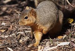 Eastern Fox Squirrel, Sciurius niger (Robyn Waayers) Tags: foxsquirrel easternfoxsquirrel sciuriusniger squirrel squirrels foxsquirrels nonnativesquirrels balboapark sandiego california robynwaayers