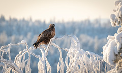 Ready to Take Off (MrBlackSun) Tags: golden eagle goldeneagle winter arctic finland forest frozen kuusamo nikon d850 bird birds birdlover birdlovers kuusamonaturephotography kuusamohides