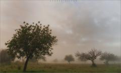 El algarrobo en la niebla (carmenvillar100) Tags: winter niebla algarrobo camposdeibiza invierno ibiza eivissa eivissarural mistymorning arboles