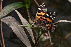 Painted Lady (Rodger1943) Tags: butterflies australianbutterflies sonyrx10iv paintedlady