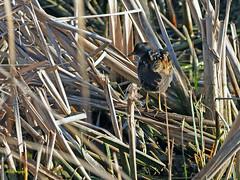 Polluela bastarda (Porzana parva) (2) (eb3alfmiguel) Tags: aves acuaticas gruiformes rallidae polluela bastarda porzana parva