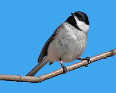 """My Little Chickadee"" (Jan Nagalski) Tags: bird chickadee blackcappedchickadee nature wildlife march latewinter black white lakestclair metropark park southeastmichigan michigan jannagalski jannagal"