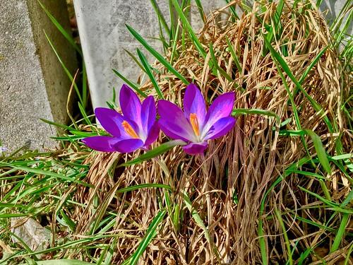 Early crocus flowers - messengers of spring - in Kiefersfelden, Bavaria, Germany