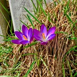 Early crocus flowers - messengers of spring - in Kiefersfelden, Bavaria, Germany thumbnail