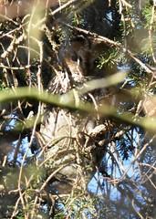 Tawny owl (Lancs & Lakes Outback Adventure Wildlife Safaris) Tags: nikon d7200 sigma 150600mm 14xteleconverter martinmerewwt burscough lancashire owl tawnyowl kingfisherhide