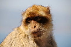 Barbary Macaque. (Chris Kilpatrick) Tags: barbarymacaque macaque chris canon7dmk2 canon outdoor wildlife nature gibraltar rock animal sigma150mm600mm sigma