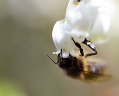 honey bee on Arctostaphylos sp 1/2 (conall..) Tags: rock garden arctostaphylos sp manzanita ericaceae nikon afs nikkor f18g lens 50mm prime primelens nikonafsnikkorf18g closeup raynox dcr250 macro rowallane national trust saintfield walled northernireland rockgarden bee honeybee apis mellifera apismellifera pollination flower desenfoque outoffocus narrow dof selective focus arctostaphylossp
