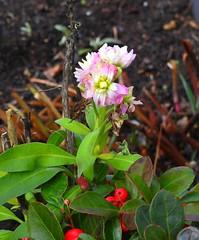 die unermüdliche Levkoje (Sophia-Fatima) Tags: mygarden meingarten naturgarten gardening levkoje