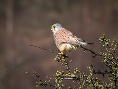 Male Kestrel (Maria-H) Tags: kestrel falcotinnunculus male glossop derbyshire highpeak uk olympus omdem1markii panasonic 100400