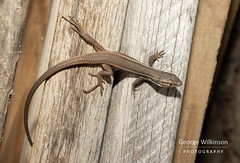 Large Psammodromus (Psammodromus algirus) (George Wilkinson) Tags: large psammodromus psammodromusalgirus lizard spain wildlife herp herping herptile jaen andujar canon 7d 60mm macro