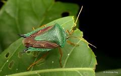 Shield bug, Edessa sp., Pentatomidae (Ecuador Megadiverso) Tags: andreaskay ecuador edessasp hemiptera heteroptera pentatomidae pentatomomorpha shieldbug stinkbug truebug