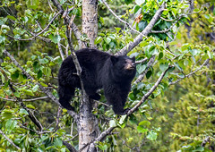 Looking for necessities (10000 wishes) Tags: bear tree wildlifephotography canada beauty forest carnivor mammal black wild