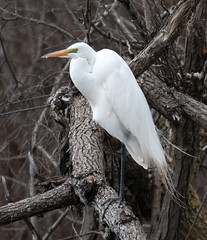 Great Egret (ksblack99) Tags: bird oakharbor ohio greategret ottawanationalwildliferefuge