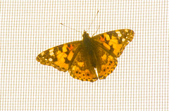 Bug on my Screen (david55king) Tags: israel haifa haruvstreet balcony david55king ישראל חיפה רחובחרוב bug butterfly moth insect פרפר