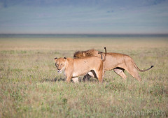 Lion couple, Ngorongoro crater, Tanzania (KronaPhoto) Tags: safari lion løve couple par dyr animals wildlife ngorongoro nationalpark crater tanzania africa travel visittanzania animallover landscape nature natur flies cat catlife wildcat