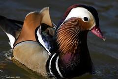 (Enllasez - Enric LLaó) Tags: patomandarín aves aus bird birds ocells pájaros patos ánades cambrils 2019