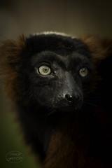 Lemur Portrait (MaiGoede) Tags: lemuren lemur lemuridae lemuriformes rotervari vareciarubra primaten primates feuchtnasenprimaten strepsirrhini gewöhnlichemakis madagaskar zoo zoomerlebniswelt nikon portrait animal animalportrait nature natur naturfoto natura natureza outdoor gelsenkirchen