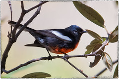Painted redstart (EXPLORE, Apr 11 2019, #13) (RKop) Tags: warbler chiricahuamountains chiracahuamountains arizona raphaelkopanphotography d500 600mmf4evr 14xtciii paintedredstart nikon warblers