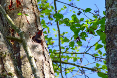 Spring cleaning (James_D_Images) Tags: woodpecker northernflicker male red spotted plumage bird nesting hole hollow tree cleaning sawdust blue sky spring bark leaves branches