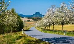 Spring in Saxon Switzerland (Uwe Kögler) Tags: saxony sächsischeschweiz sachsen frühling baumblüte aussicht landscape lilienstein spring time saxonswitzerland elbsandsteingebirge elbe landschaft königstein adamsberg bäume