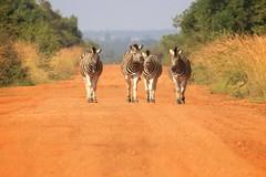 Zebra crossing (peet-astn) Tags: dinokeng dinokenggamereserve southafrica abendruhelodge wildlife bush zebracrossing zebra crossing