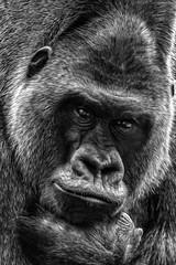 Le penseur (pogona) Tags: rouge 7d canon7d 100400mm markii gorille primate noir noiretblanc blanc black blackandwhite white paint peinture photoshop portrait tdb thierrydebleye pogona zoo amnéville