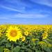 Sunflowers, Andalucia