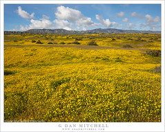 Spring Wildflowers (G Dan Mitchell) Tags: carrizo plain national monument yellow flowers wildflowers carpet hills mountains sky clouds spring nature landscape california usa north america bloom monolopia daisy