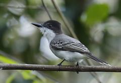 Loggerhead Kingbird_19-03-01_Tyrannus caudifasciatus (Langham Birder) Tags: cuba loggerheadkingbird tyrannuscaudifasciatus