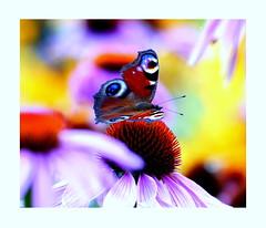 Motyl. (andrzejskałuba) Tags: poland polska pieszyce dolnyśląsk silesia sudety europe panasonicdmcfz200 lumix plant plants roślina różowy red rośliny yellow pink żółty zieleń green garden ogród flower flora floral flowers color czerwony beautiful blue natura nature natural natureshot natureworld niebieski insect owad macro motyl butterfly sunset zachódsłońca jeżówka echinacea 1000v40f 1500v60f
