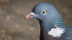Due 2019-03-31 (Gorixdk) Tags: danmark denmark dk canon eos 6d mark ii 2 ef 100400mm f4556l is dslr fugl fugle bird birds vogel oiseau oiseaux vögel hammel dove pigeon