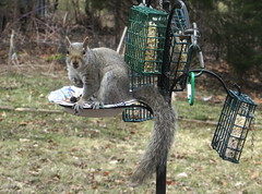 Grey Squirrel Looking At Me After Raiding The Bird Feeder Station IMG_1535 (Ted_Roger_Karson) Tags: canonpowershotsx280hs northernillinois handheldcamera backyard feeder canon powershot sx280 hs northern illinois hand held camera back yard friends miniature compact pocket seed cake zoom animals suet telephoto thisisexcellent twop test photo minicompact food squirrel