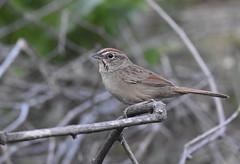 Rufous-crowned Sparrow (Christopher Lindsey) Tags: rufouscrownedsparrow montecito california memorialpark sanbernardinocounty birds birding winter