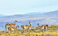 Chile, guanacos (Vittorio Ricci (thanks for 4.1 millions views)) Tags: patagonia guanaco lamaguanicoe chile