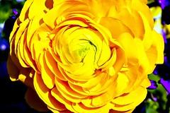 Yellow Rose (pmorris73) Tags: arboretum pennstateuniversity statecollege pennsylvania century 2cb0219 3cb0319 4cb0519 5cb0919 6cb1519 7cb2219 8cc0619