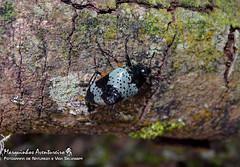 Gibbifer borgmeieri (Alvarenga, 1976) (Marquinhos Aventureiro) Tags: gibbifer borgmeieri besouro beetle serra canastra erotylidae wildlife vida selvagem natureza floresta brasil brazil hx400 marquinhos aventureiro marquinhosaventureiro