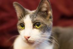 Xena Warrior Kitteh (Fred Merchán) Tags: cat chat gato minou kitteh lensbabyvelvet56