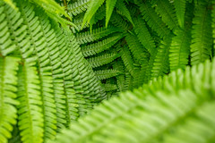 Fern Leaves - Colour--2 (JayDeWinne) Tags: green fern leaves patterns colours leaf nature flora plant forest nopeople backgrounds botany beautyinnature vector abstract lushfoliage branchplantpart frond closeup freshness depth selectivefocus naturalpattern