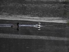 ***Rare*** Long-tailed Duck (with LESC) (FluvannaCountyBirder754) Tags: longtailedduck duck waterfowl rare rarebird rarity birdwatching birding bird birder birds wildlife nature outdoor outdoors outside animal creature virginia bedfordcounty bigisland