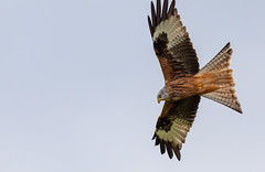 Photo of Red Kite looking for lunch