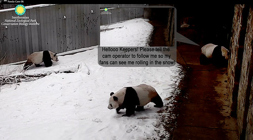 Tian Tian tries to instruct the cam operators 2019-02-20 ca 11.29.10 AM