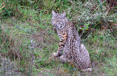 Bobcat (Thy Photography) Tags: wildcat cat mammal california sunrise nature backyard sunset photography wildlife animal bobcat