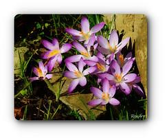 pink @ the wall (ren.art) Tags: art creative photomerge edited painting flowers spring season pink outdoor closeup