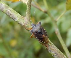 Pentatoma rufipes (rockwolf) Tags: pentatomarufipes punaise forestbug pentatomidae hemiptera heteroptera insect shawburyheath shropshire rockwolf
