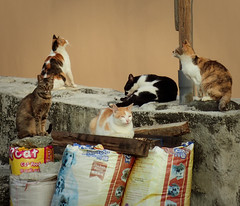 cat(s) 95 (8pl) Tags: animaux chat chats cats cat ivalino lanyu taïwan rue pose groupe