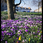 Colourful crocuses thumbnail