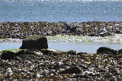 Robin Hood's Bay (118) (rs1979) Tags: greyheron heron robinhoodsbay northyorkshire yorkshire beach rockyforeshore